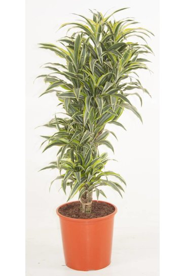 Dracaena Surprise vertakt (Drakenbloedboom)