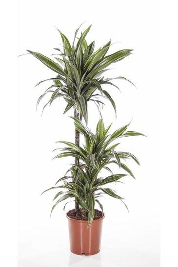 Kamerplanten kopen  Grote Kamerplant Specialist  Fleurdirect
