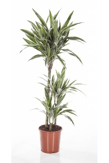 Dracaena White Stripe  - Drakenbloedboom