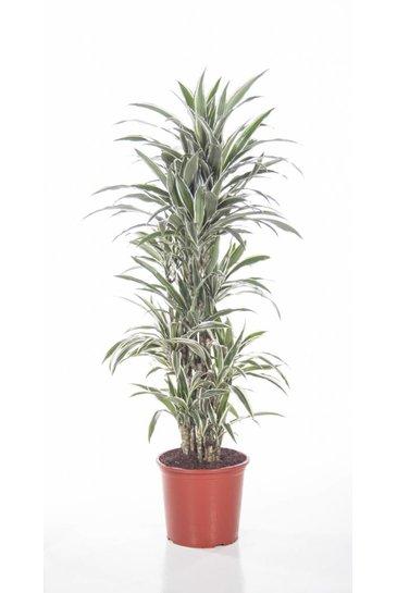 Dracaena White Stripe vertakt (Drakenbloedboom)