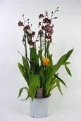 Orchidee Cambria Bartley