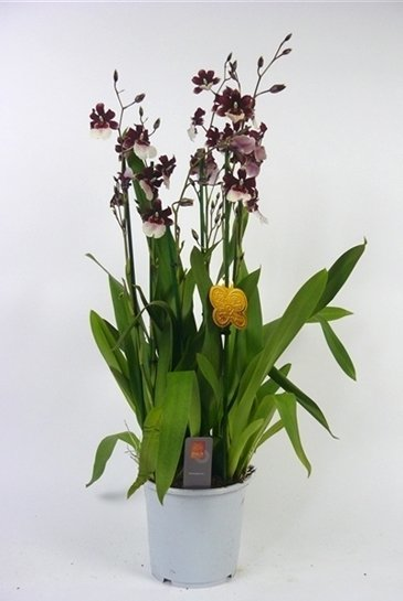 Orchidee Cambria Bartley (Rood/Wit)
