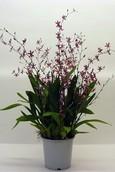 Orchidee Katarina Zoch