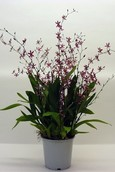 Orchidee Oncidium Katarina Zoch