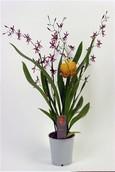 Orchidee Oncidium Katarina
