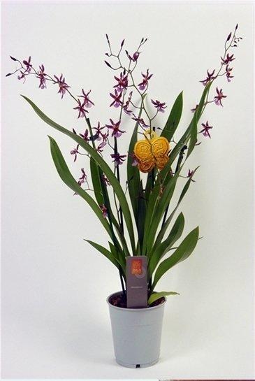 Orchidee Reina Katarina (Paars)