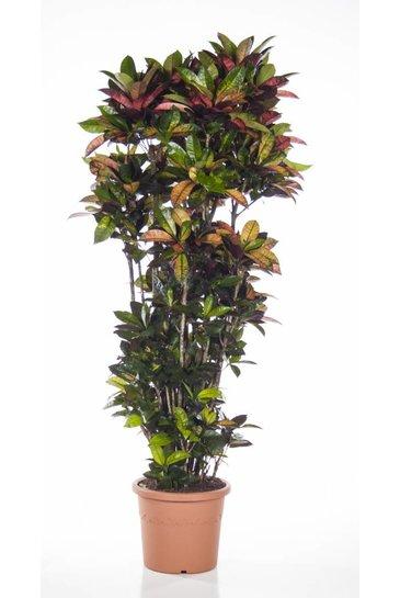 Croton Iceton (Wonderstruik)