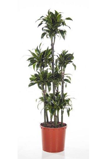 Dracaena Dorado (Drakenbloemboom)
