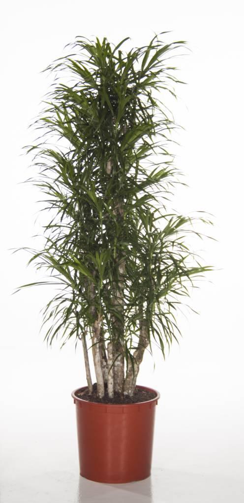 Dracaena kopen  123kamerplanten