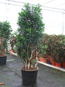 Dracaena Pleomele Song Of Jamaica
