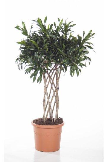 Dracaena Reflexa (Drakenbloemboom)