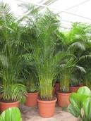 Palm Areca Chrysalidocarpus