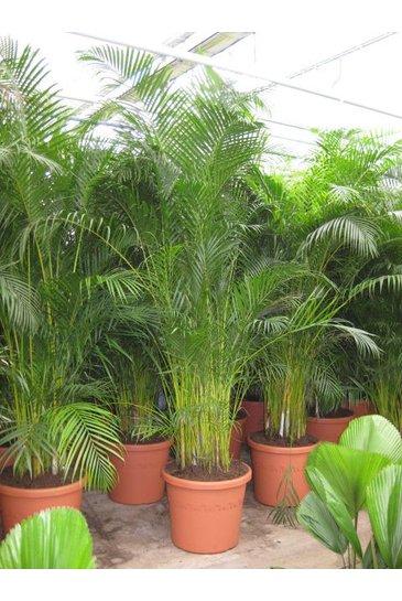 Palm Areca Chrysalidocarpus Lutescens (Goudpalm)