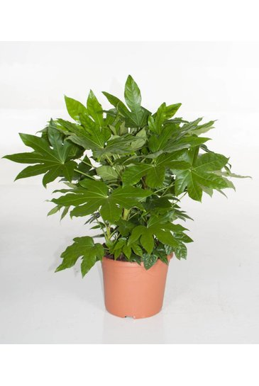 Fatsia Japonica (Vingerplant)