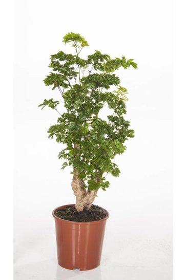 Aralia Roble - Polyscias
