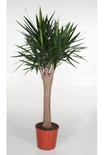 Yucca Cintho