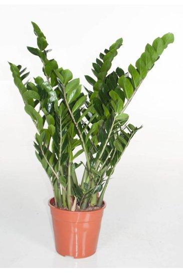 Zamioculcas Zamiifolia (Emeraldpalm)