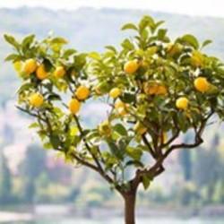 Citrus (Citronella) verzorging