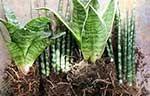 Sansevieria - Plant van de maand