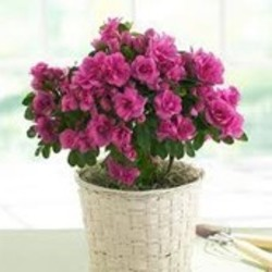 Rhododendron verzorging