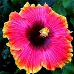 Hibiscus informatie