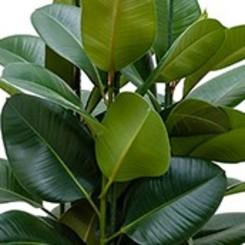 Kamerplanten met grote bladeren