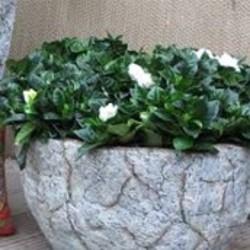 Gardenia informatie