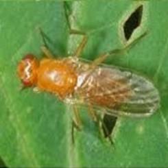 Mineervlieg op kamerplant
