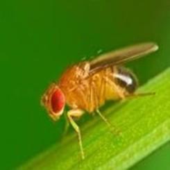 Aziatische Fruitvlieg op kamerplant