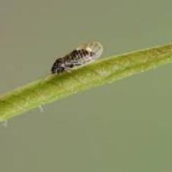 Perenbladvlo op kamerplant