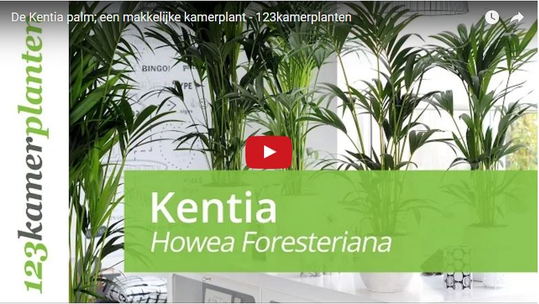 Howea Forsteriana video