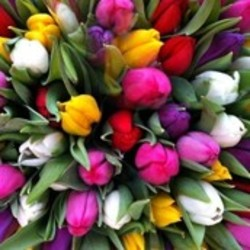 Tulpen verzorging