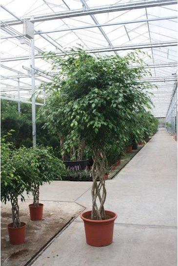 Ficus Exotica (Vijgenboom)