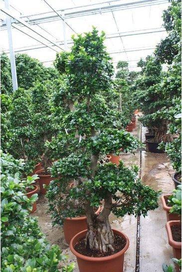 Ficus Microcarpa (Vijgenboom)