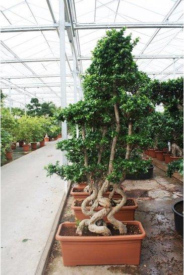 Ficus Microcarpa - Bonsaiboom