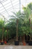 Palm Phoenix Roebelenii