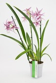 Orchidee Cambria Peggy Ruth