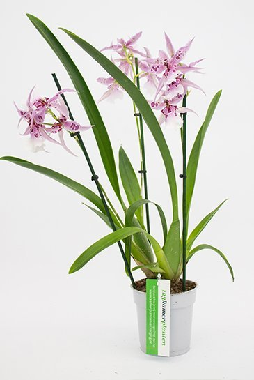 Orchidee Reina Peggy Ruth (Roze)
