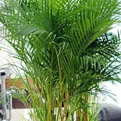 Close up van een Areca