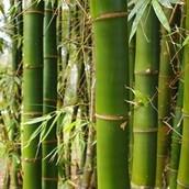 Close up van een Bamboe