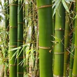 Bamboe verzorging