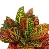 Close up van een Croton