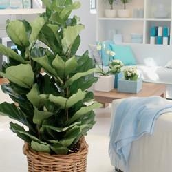Ficus verzorging