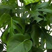 Close up van een Philodendron