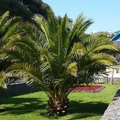 Close up van een Phoenix Canariensis