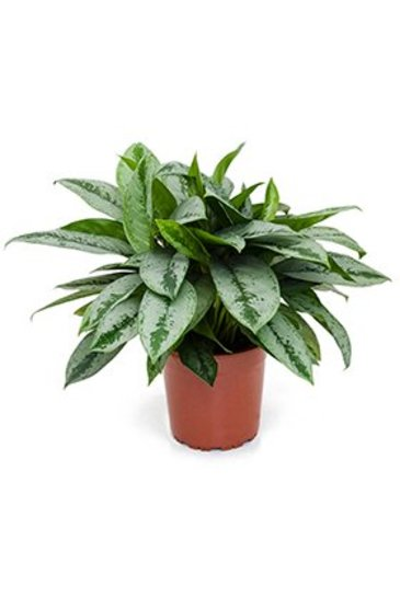 Aglaonema Silver Frost - Chinese evergreen