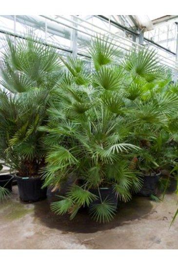 Palm Chamaerops Humilis - Dwergwaaier palm