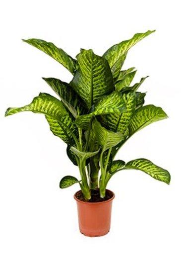 Dieffenbachia Maroba - Dumb caneplant
