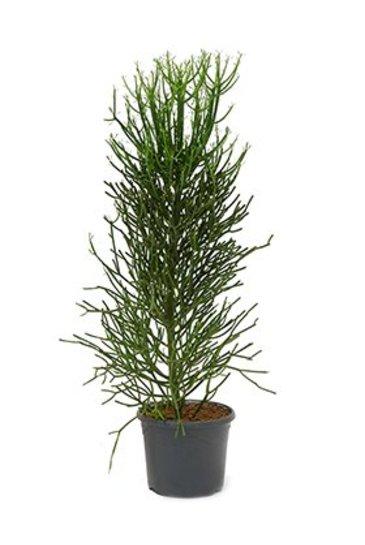 Euphorbia Tirucalli - Potlood Plant