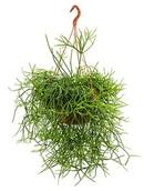 Rhipsalis Heteroclada Hangplant